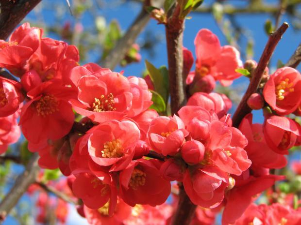 Punaisia koristeomenapuun kukkia sinistä taivasta vasten.