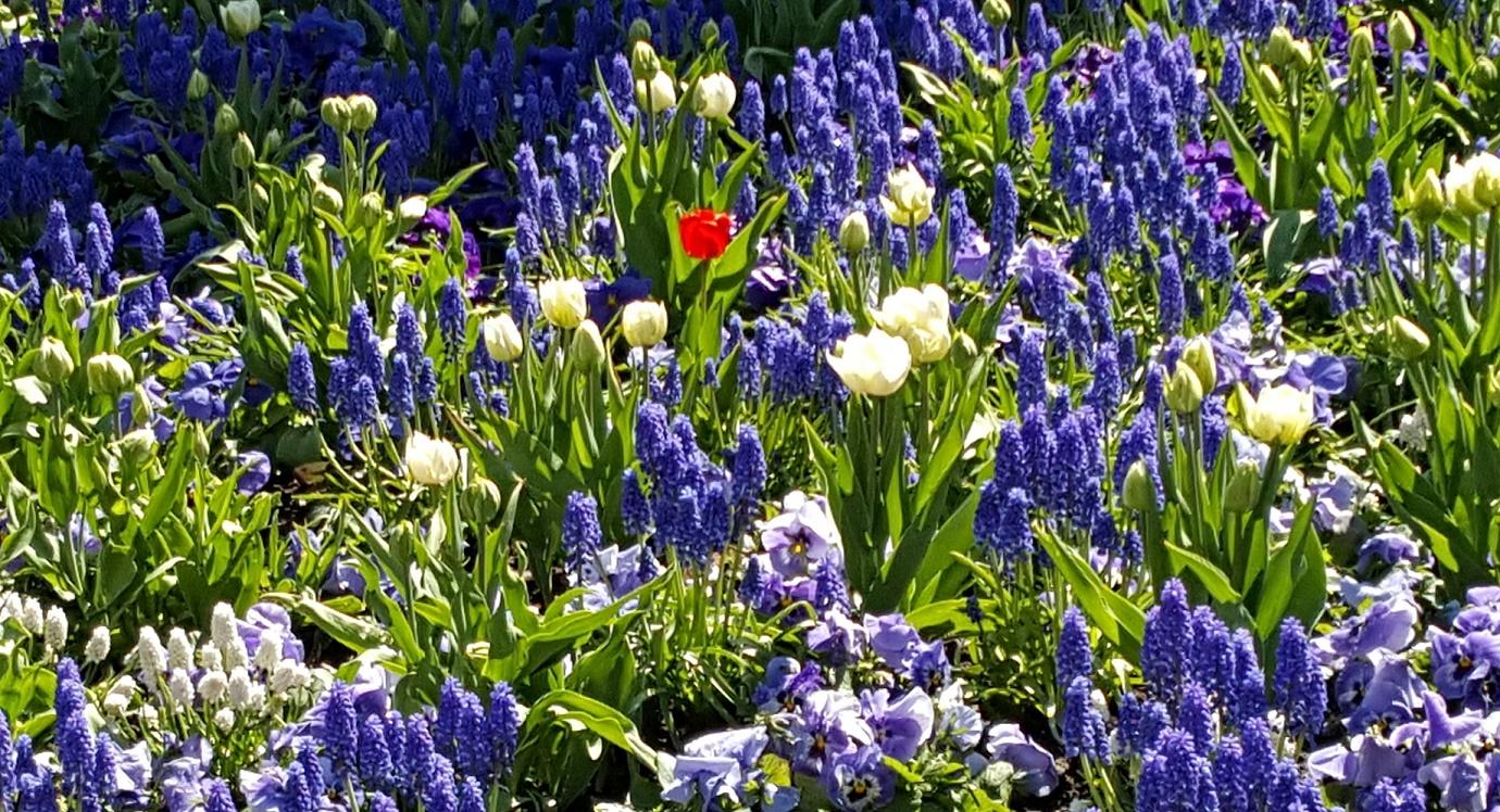 Sinivalkoisessa kukkapenkissä keskellä yksi kairkkaanpunainen kukka.